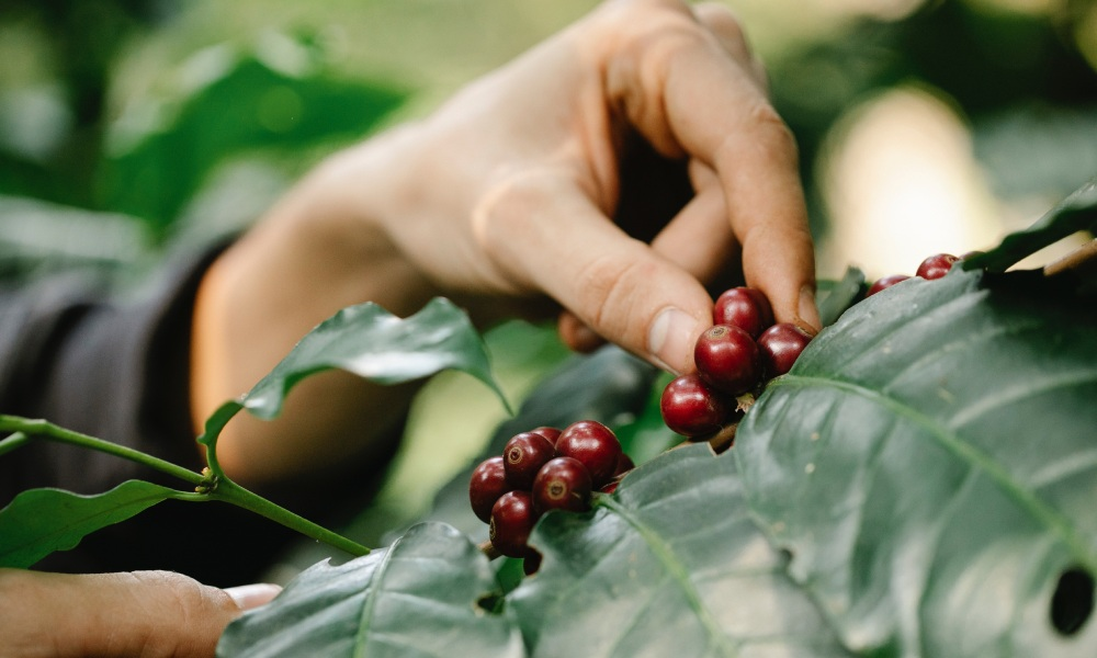 picking coffee cherries from a plant