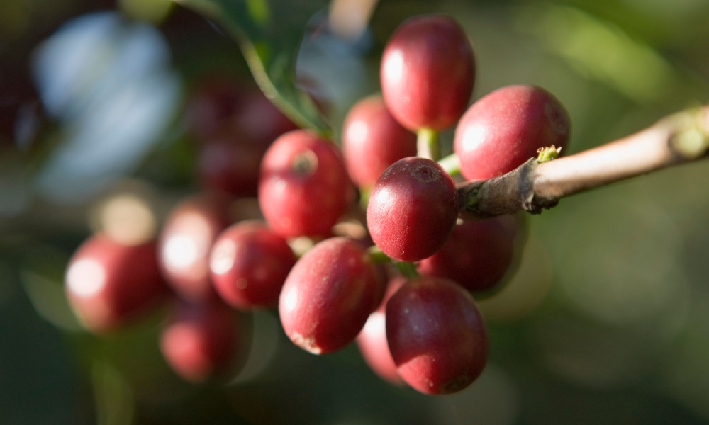 Coffee varieties: A complete guide to Bourbon